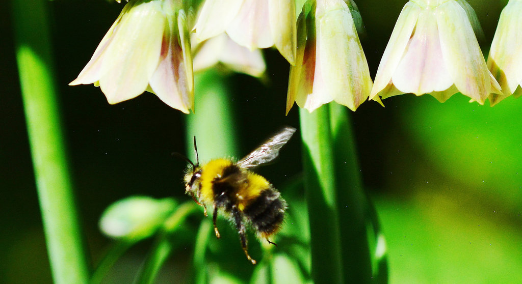 Bees and Allium Bells!