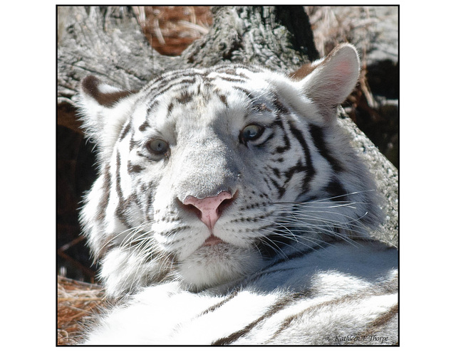"""White Tiger - """"You Look Good Enough to Eat"""""""