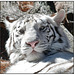 "White Tiger - ""You Look Good Enough to Eat"""