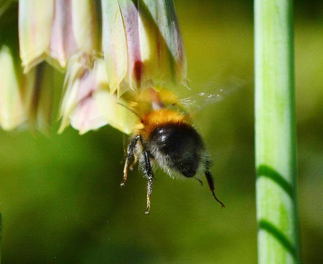 Bees and Allium Bells!
