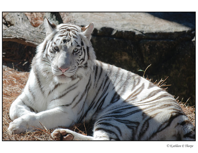 White Tiger Relaxing 003