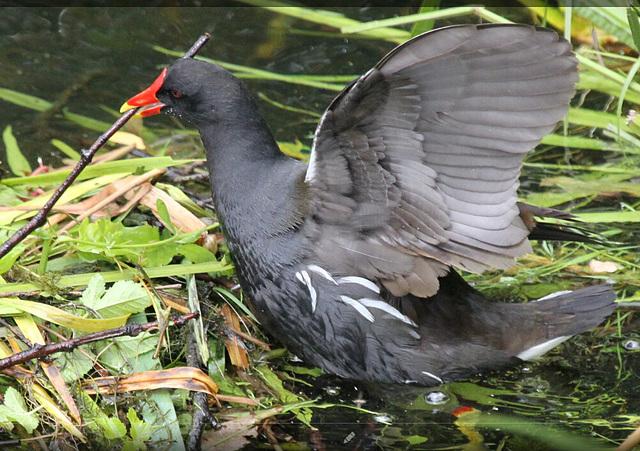 Teichralle beim Nestbau