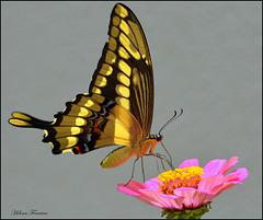 Queen of butterflies.