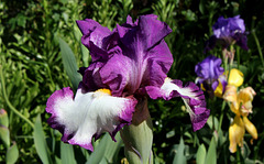 Iris ' Footlose'