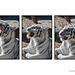 White Tiger Ending Yawn Triptych