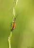 Hansome Meadow Plant Bug