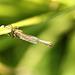 Slender Striped Robberfly