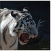 White Tiger Sneeze