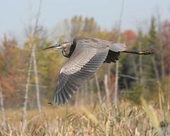 grand héron/great blue heron