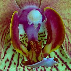 Phalaenopsis Orchid 0018