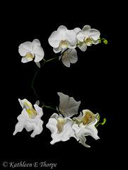 Phalaenopsis White Reflection on Black 41712