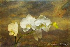 White Phalaenopsis with Lenabem Texture 41712