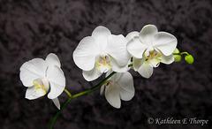 Phalaenopsis White Mottled Background 41712  Explore May 11, 2012 #498