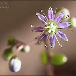Sedum caeruleum -  diam. 7mm