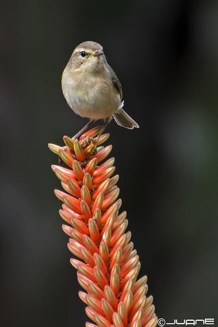Mosquitero canario.- (Phylloscopus canariensis.)