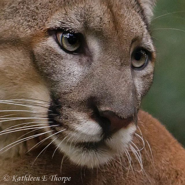 Florida Female Panther Portrait - Explore December 31, 2011 #352