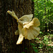 Huge Flower-like Tree Fungus #2