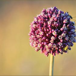 Poesia da terra sedenta, Allium