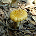 Brownish yellow mushroom 1