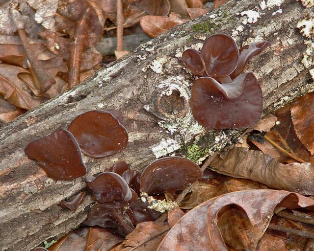 Brown fungus on a log