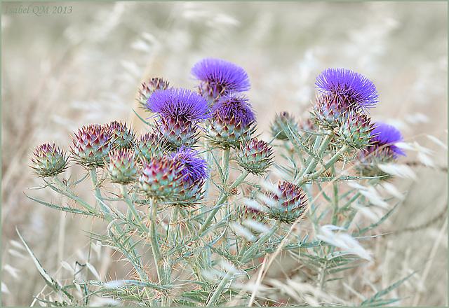 Poesia da terra sedenta, Cynara flavescens