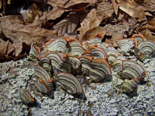 Fungus on dead oak branch