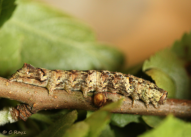 Green-brindled Crescent Caterpillar