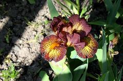 Iris nain 'Firestorm'