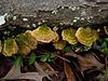 Bracket Fungus with Green Algae