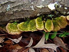 Bracket Fungus with Algae