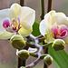 Orchidee (3)