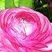 Pink Ranunkel (1)