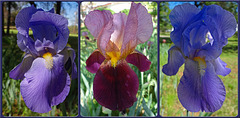 Blue Iris Collage