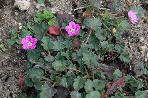 Erodium x variabile ' Bishop's Form'
