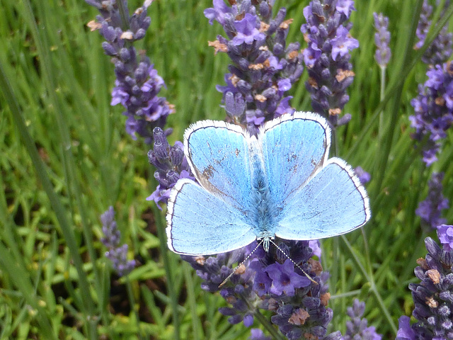 Common Blue on lavender.