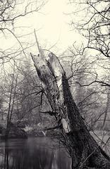 Derbyshire Wye - Willow Opposite Ogden Island 2014