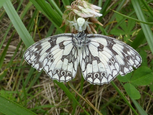 Marbled White caught by a crab spider