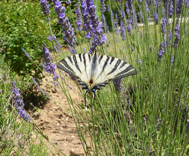 Scarce Swallowtail on lavender