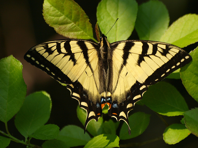 swallowtail among the greens