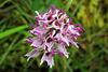 Cul par dessus tête - Orchis simia = orchis singe (Orchidacées), Lot, France