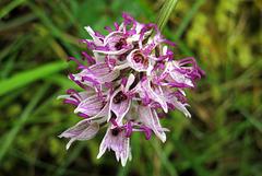 Cul par dessus tête - Orchis simia Lam. = orchis singe (Orchidacées), Lot, France