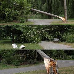 Fallen Pine-tree