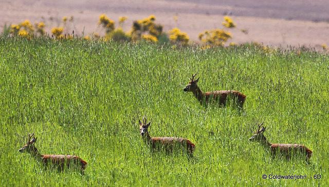 Roe Buck in the field left fallow