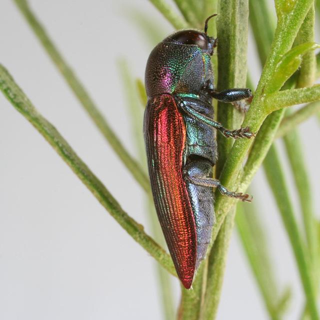 Neobubastes aureocincta PL0485