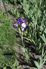 Iris 'Art Deco' (2)