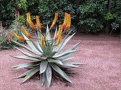 Cactus de Marrakech
