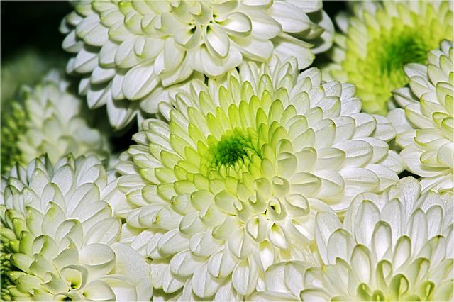 Mini-Chrysanthemen als Blumengruß zum Wochenende