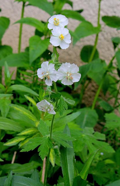 Geranium phaeum (2)