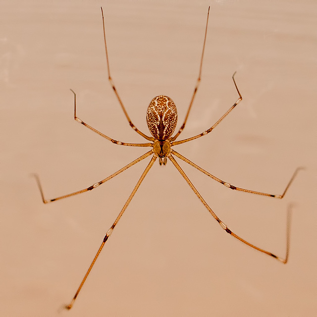Gorgeous Daddy Long Leg Spider