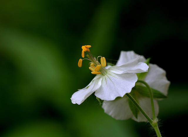 Geranium phaeum (3)